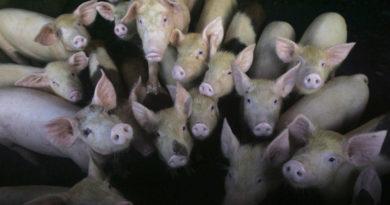 ALERTA MUNDIAL: Nueva cepa de gripe porcina con el potencial de convertirse en pandemia, descubierta en China