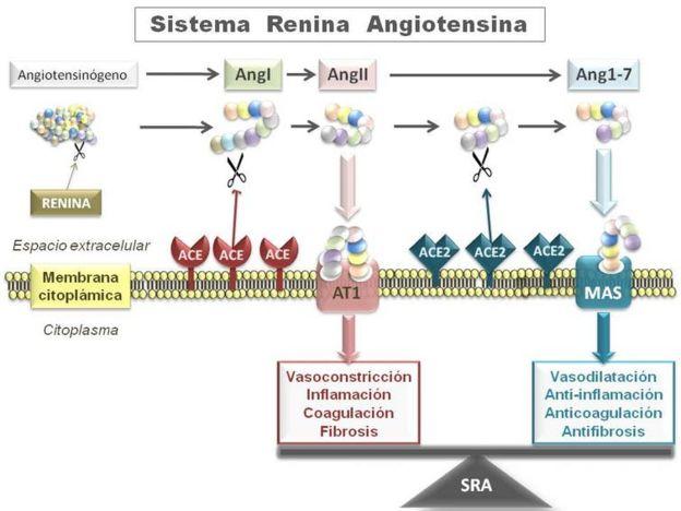 Esquema resumido del Sistema Renina Angiotensina (RAS).