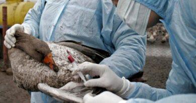 Gripe aviar: síntomas, diagnóstico y tratamiento