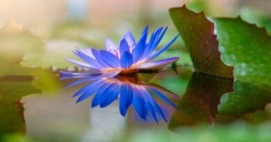 Loto azul: usos y riesgos