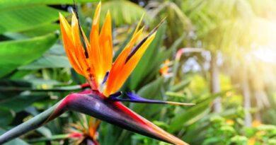 Planta ave del paraíso: características y cuidados