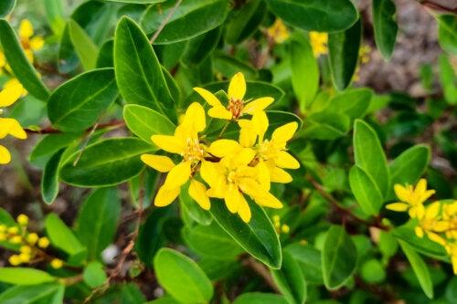 Calderona amarilla: ¿es efectiva para reducir la ansiedad?
