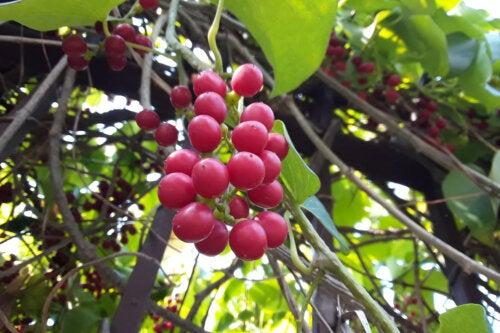 ¿Qué es el guduchi y cómo se usa en la medicina ayurveda?